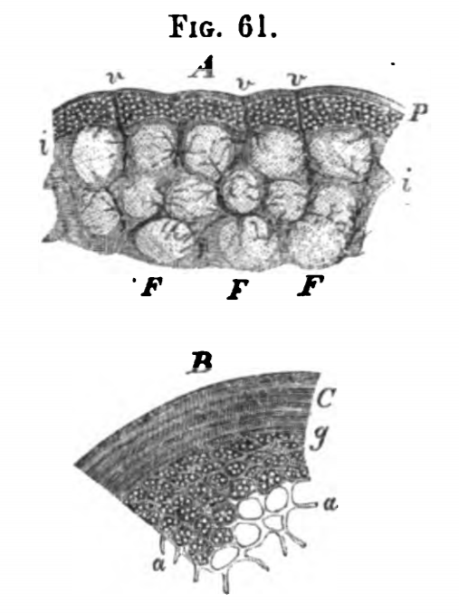 Image by Virchow, of sections through the cortical substance of human mesenteric glands.